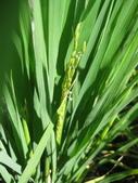 台農秈稻22號:IMG_0046.jpg