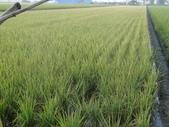 台農秈稻22號:DSC03692.JPG