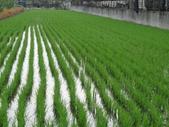 103年1期水稻日記:DSC01832.JPG
