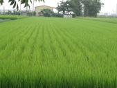 103年1期水稻日記:DSC01916.JPG