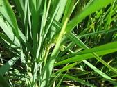台農秈稻22號:IMG_0056.JPG
