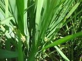 台農秈稻22號:IMG_0055.JPG