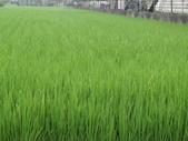 103年1期水稻日記:DSC01920.JPG