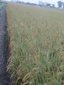 台農秈稻22號:DSC03733.JPG