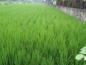 103年1期水稻日記:DSC01921.JPG