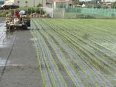 台農秈稻22號:DSC02139.JPG