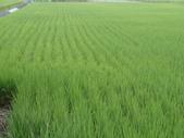 103年1期水稻日記:DSC01923.JPG