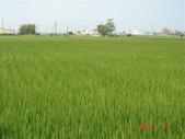 稻田:台南11號蓬萊種