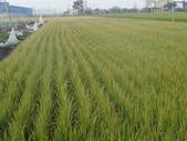 台農秈稻22號:DSC03695.JPG
