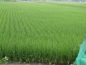 103年1期水稻日記:DSC01924.JPG