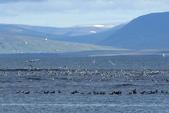 冰島北部: Reykjavik-Hvammstangi-Akureyri:到Osar的 Hvitserkur 賞水鳥、水鴨...