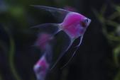 觀賞魚展(湳港展覽館,09/12/'14):粉紅天使