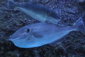 觀賞魚展(湳港展覽館,09/12/'14):剝皮魚