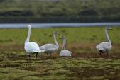 Vik-Skaftafell National Park-Jokulsarlon-Reykjavik:草甸上追拍一家子天鵝…