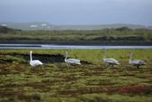 Vik-Skaftafell National Park-Jokulsarlon-Reykjavik:灰撲撲的三隻醜小鴨是天鵝的幼鳥