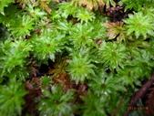 花花草草:變葉假脈蕨1.jpg