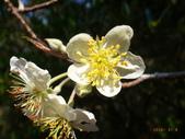 花花草草:台灣蘋果2.jpg