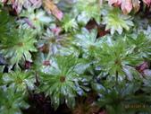 花花草草:變葉假脈蕨2.jpg