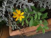菊科植物:DSC09171.JPG