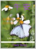 昆蟲問安卡-午安:午安!台灣粉蝶(雄)a.jpg