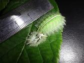 黑點扁刺蛾四齡幼蟲~圓褐繭~羽化:DSC02073.JPG