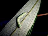 大雪山昆蟲與蜘蛛:DSC07845紫線黃舟蛾幼蟲.JPG