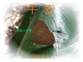 昆蟲問安卡-午安:午安!白波紋小灰蝶a.jpg