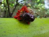 108~109年復旦社區昆蟲:DSC01962紫豔白點花金龜.JPG