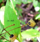 菊科植物:貓腥草瘦果冠毛