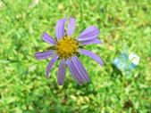 菊科植物:P2140624