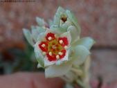 復旦社區花草(106~107年冬天):DSC08562星美人紅花朵.JPG