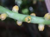 夏威夷椰子黃花序及黑果子:DSC05542.JPG