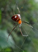 雙溪丁蘭谷生態園區的蜘蛛:DSC03883a.jpg