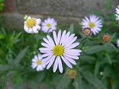 菊科植物:P2110347