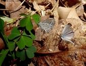 藍灰蝶(沖繩小灰蝶)的一生:DSC07346沖繩小灰蝶求偶.jpg