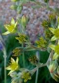 復旦社區園藝花種:DSC03197黃綠花與果實.jpg