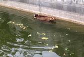 哺乳綱 (貂科、熊科、蝙蝠、松鼠、袋鼠、海豚、鯨魚、海獅):浣熊游泳.JPG