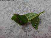 黑點捲葉象鼻蟲的卵苞搖籃:DSC07960.JPG