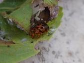 黑點捲葉象鼻蟲的卵苞搖籃:DSC07967.JPG