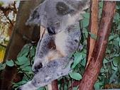哺乳綱 (貂科、熊科、蝙蝠、松鼠、袋鼠、海豚、鯨魚、海獅):澳洲無尾熊