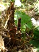 雙溪丁蘭谷生態園區的蜘蛛:DSC03684人面蜘蛛(雌).JPG