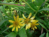 菊科植物:P2150982.JPG