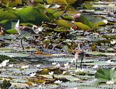 凌波仙子(菱角鳥)雛鳥&成鳥:IMG_6566二隻水雉雛鳥.jpg