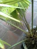 老友台北家盆栽植物:13812.jpg