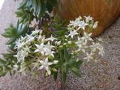 復旦社區園藝花種:DSC03195白花序.JPG