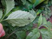 龜紋瓢蟲一齡幼蟲剛孵化~蛹~羽化:DSC04515大花咸豐草葉背.JPG