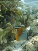 馬爾地夫-印度洋的淺海生物:P7120416a.jpg