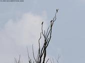 復旦社區稀有冬侯鳥-金翅雀:N74A4472.JPG