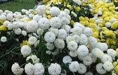 菊科植物:13120白花.jpg