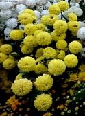 菊科植物:13121黃花.jpg
